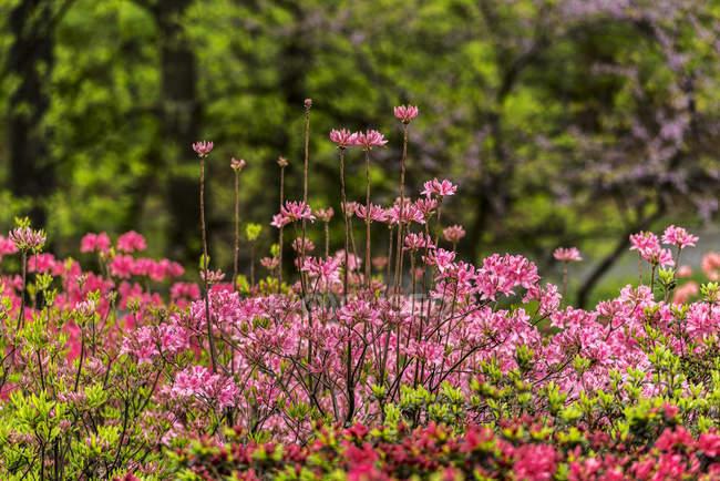 Azaleas y el rododendro (Ericaceae), jardín botánico de Nueva York; Bronx, Nueva York, Estados Unidos de América - foto de stock