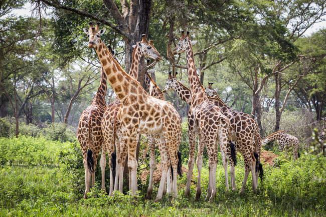 Жирафы стоят на земле с зеленой травой против деревьев в дневное время — стоковое фото