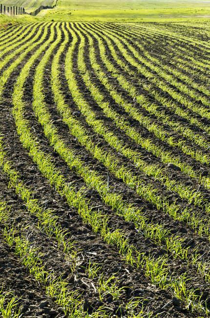 Linien einer frühen Getreideernte auf einem rollenden Feld; beiseker, alberta, canada — Stockfoto