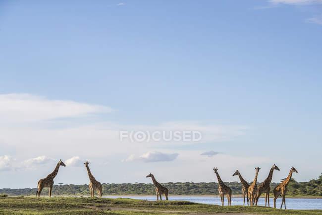 Paquete de jirafas de pie en el suelo cubierto de hierba contra el agua del estanque — Stock Photo