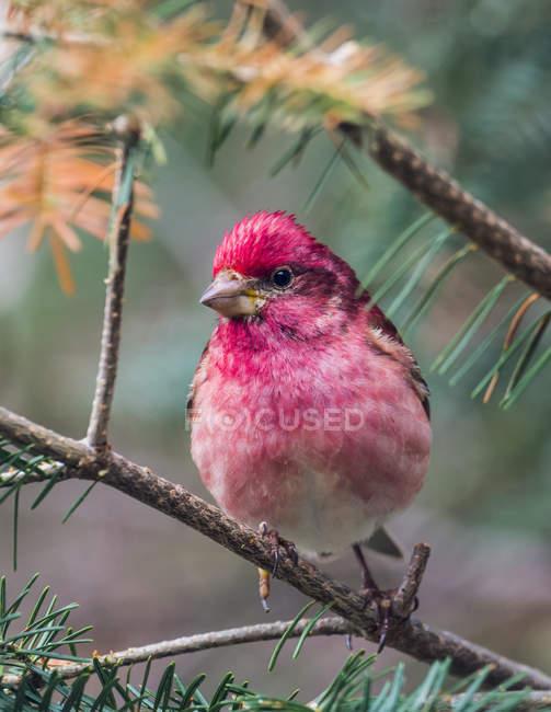 Oiseau à plumes rose assis sur la brindille d'un arbre à l'extérieur — Photo de stock
