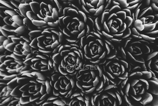 Вид зверху пишних квітів на завод, повний кадр, чорно-білих зображень — стокове фото