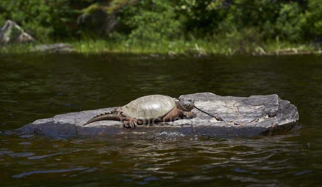 Snapping черепаха (Chelydra режимі) спирається на скелі в воду, Algonquin Провінційний парк; Онтаріо, Канада — стокове фото