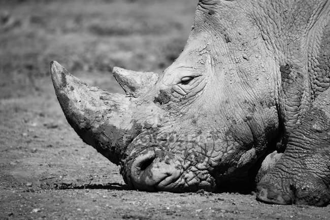 Schwarzweißbild eines Nashorns mit Kopf auf dem Boden — Stockfoto
