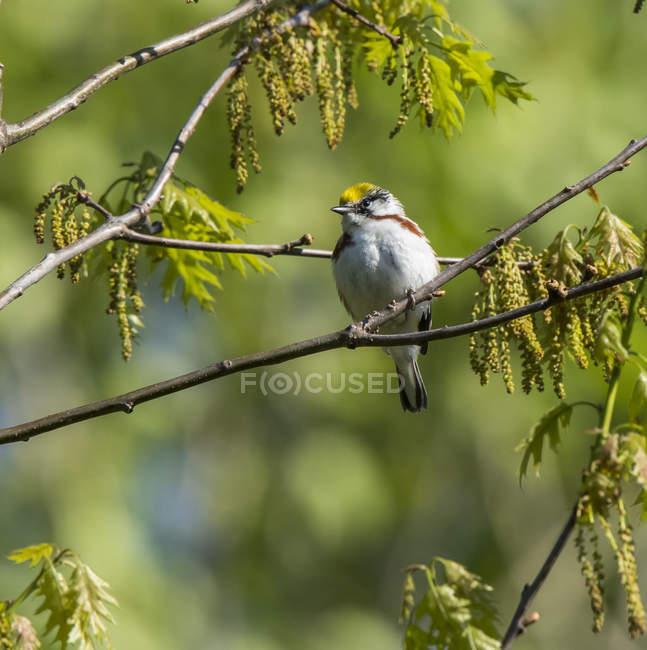 Oiseau assis sur la branche d'un arbre avec un fond vert flou — Photo de stock