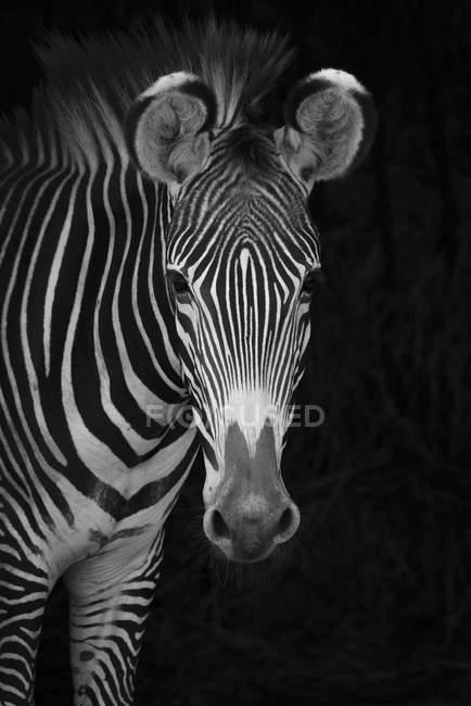 Immagine in bianco e nero di zebra che guarda la fotocamera su sfondo nero — Foto stock