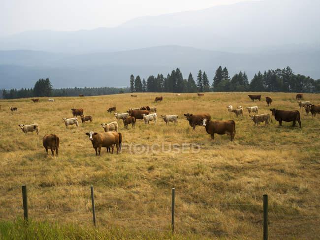 Rinder grasen auf Wiese mit Bäumen gegen Zaun tagsüber — Stockfoto