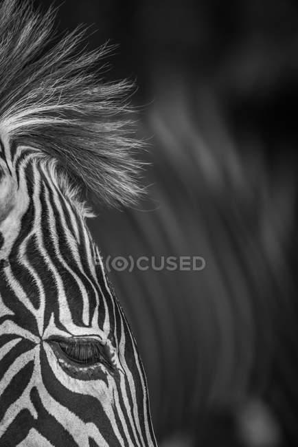 Черно-белое изображение головы зебры на размытом фоне — стоковое фото