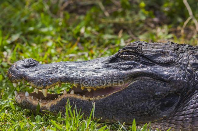 Vista lateral de la cabeza de cocodrilo sobre hierba verde con mandíbulas abiertas - foto de stock