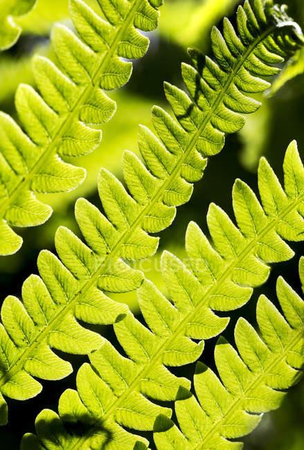 Closure-Up Of Fern Leaves Backlit; Калгари, Альберта, Канада — стоковое фото