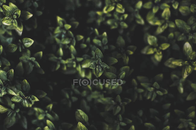 View of green leaves on bush on dark blurred background — Stock Photo