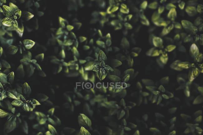 Exibição de folhas verdes em arbusto no escuro fundo desfocado — Fotografia de Stock