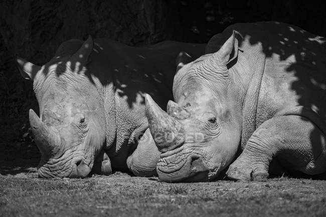 Foto in bianco e nero di due rinoceronti stesi a terra — Foto stock