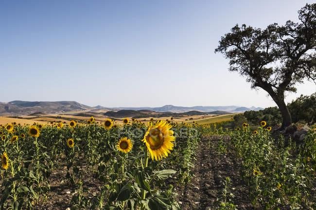 Vista de girassóis no campo com árvores e colinas no fundo — Fotografia de Stock