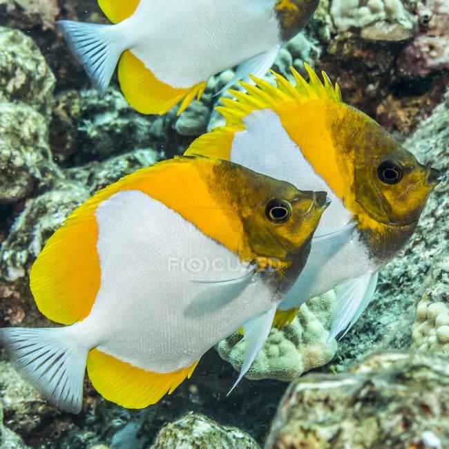 Пирамида Butterflyfish (Chlororus sordidus) сфотографирована во время погружения с аквалангом вдоль побережья Коны; остров Гавайи, Гавайи, США — стоковое фото