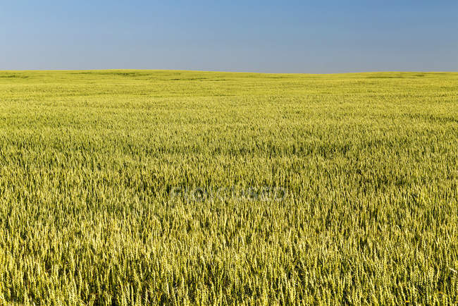 An unripe green wheat field with blue sky, East of Calgary; Alberta, Canada — Stock Photo