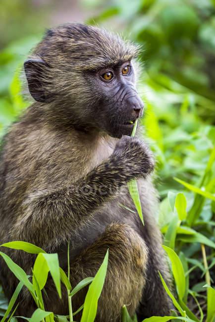 Primo piano del babbuino olivastro (Papio anubis) che mangia foglie; Tanzania — Foto stock