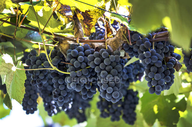 Clusters of purple grapes hanging from the vine; Caldaro, Bolzano, Italy — Stock Photo