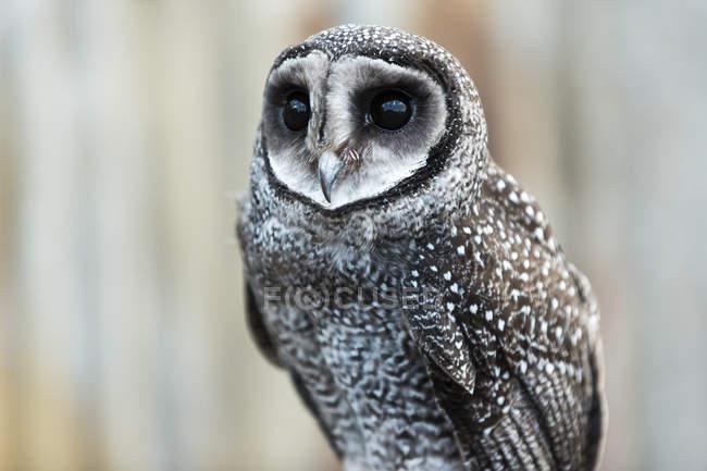 Close-up of an owl; Whiteman, Western Australia, Australia — Stock Photo