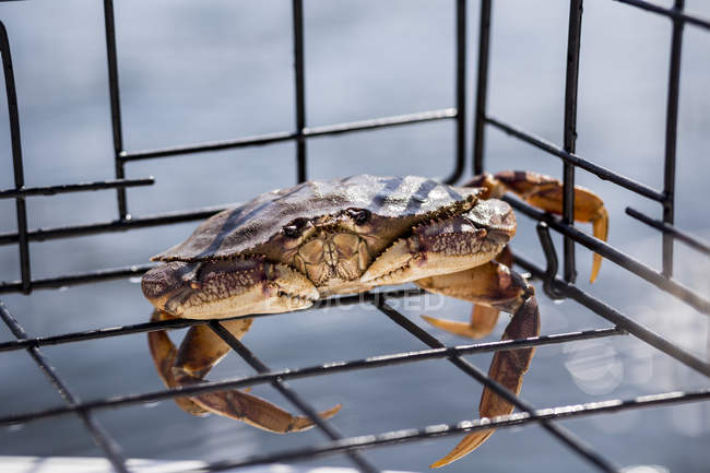 A live small Dungeness crab ( Metacarcinus magister ) caught in a crab trap on the west coast; Vancouver, British Columbia, Canada — Stock Photo