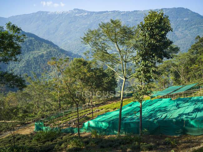 Glenburn является небесный мало чай плантации отступление, которое лежит на пригорке выше берега реки Rungeet, высоко в Гималаях; Западная Бенгалия, Индия — стоковое фото