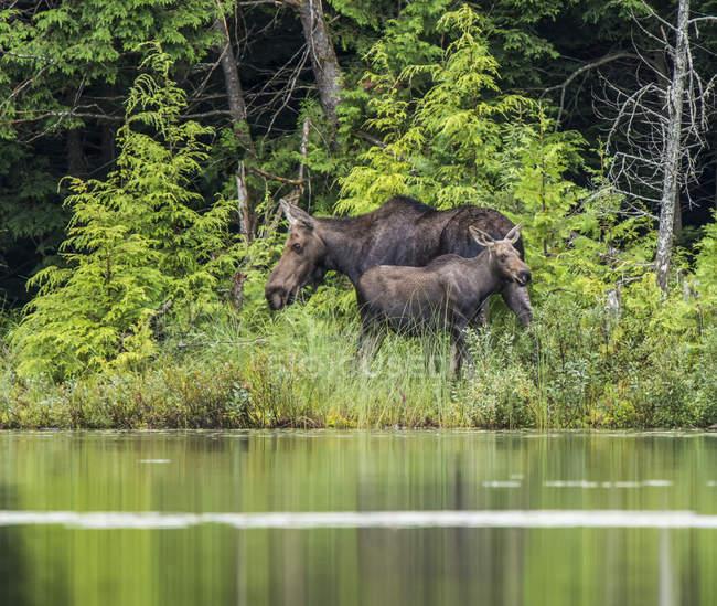 Лось (alces alces) коров и телят на берегу озера в Северо-Восточной провинции Онтарио; Онтарио, Канада — стоковое фото