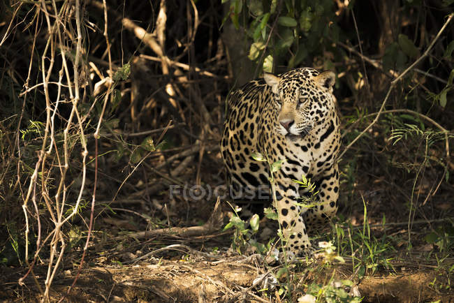 A Jaguar (Panthera onca) is prowling through dense forest in Brazil. It has a yellowish-brown coat with black spots and golden brown eyes, Pantanal; Mato Grosso do Sul, Brazil — Stock Photo