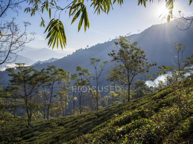 Kambal чайный сад на холме; Западная Бенгалия, Индия — стоковое фото