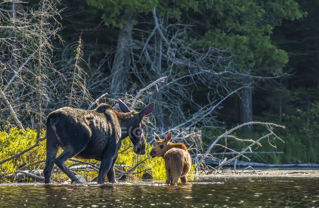 Корови і теля лося (alces alces) болотних у воді вздовж берега озера в північно Онтаріо; Онтаріо, Канада — стокове фото