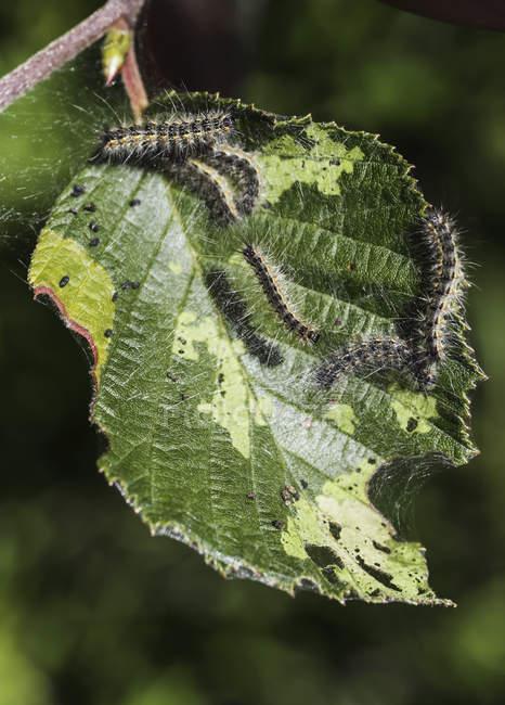 Caterpillars feeding on a leaf; Honey Harbour, Ontario, Canada — Stock Photo