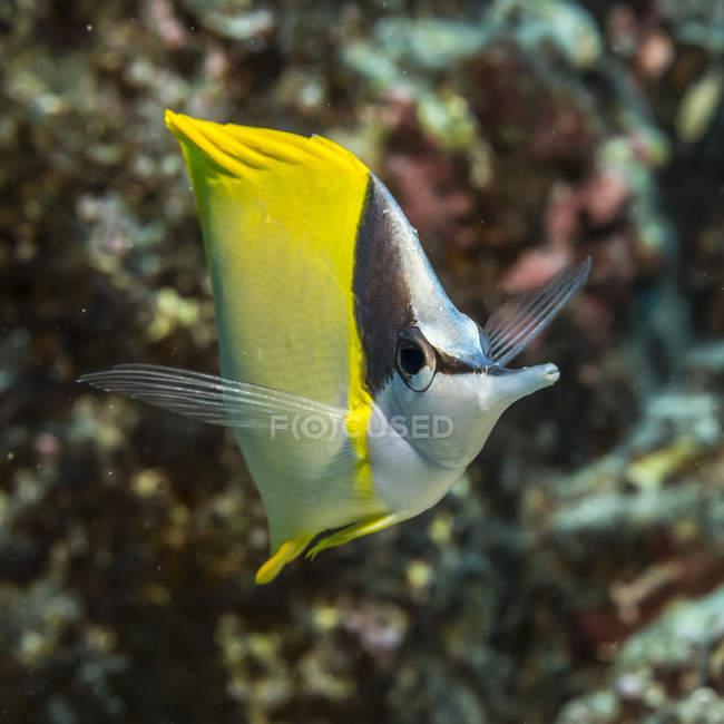 Forcepsfish (Forcipiger flavissimus) сфотографирован во время дайвинга на побережье Коны; остров Гавайи, Гавайи, США — стоковое фото