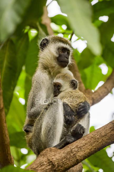 Vervet мати мавпа (Chlorocebus pygerythrus) і дитини в дерево, Національний Парк Серенгеті; Танзанія — стокове фото