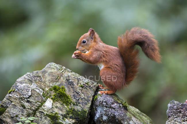 Красные белки (обыкновенной Sciurus vulgaris) едят из его рук стоя на скале мха покрыты; Дамфрис и Галлоуэй, Шотландия — стоковое фото