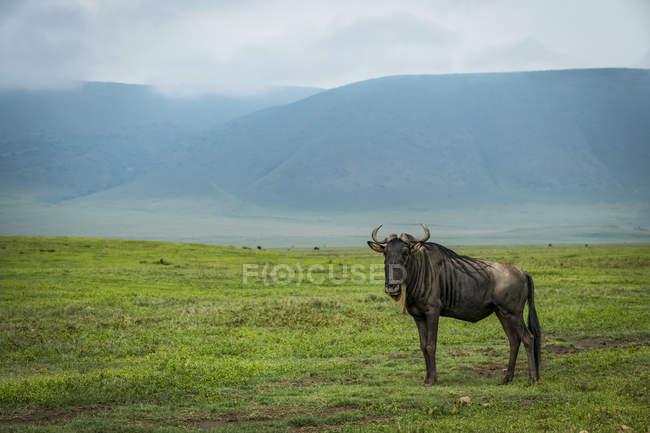 White-bearded wildebeest ( Connochaetes taurinus ) on grassland with hills behind, Ngorongoro Crater; Tanzania — Stock Photo