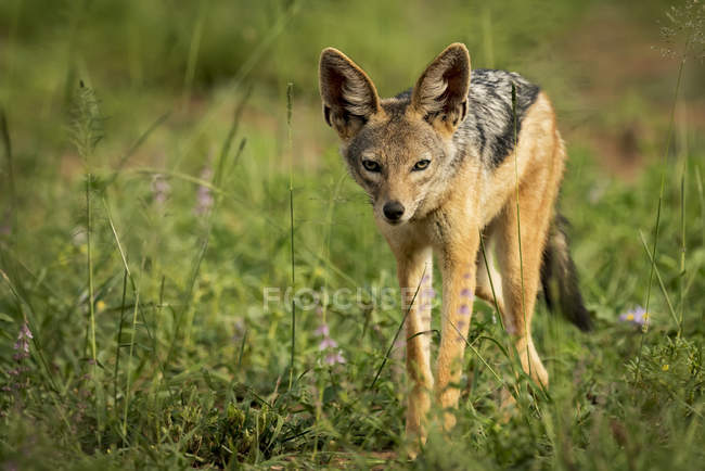 Silver-backed jackal ( Canis mesomelas ) stands in sunshine among flowers, Serengeti National Park; Tanzania — Stock Photo