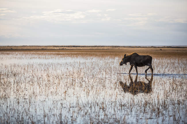 Корова лосів (alces alces) ходить через мілкій воді з відображенням і горизонт; Анкорідж, Аляска, США — стокове фото