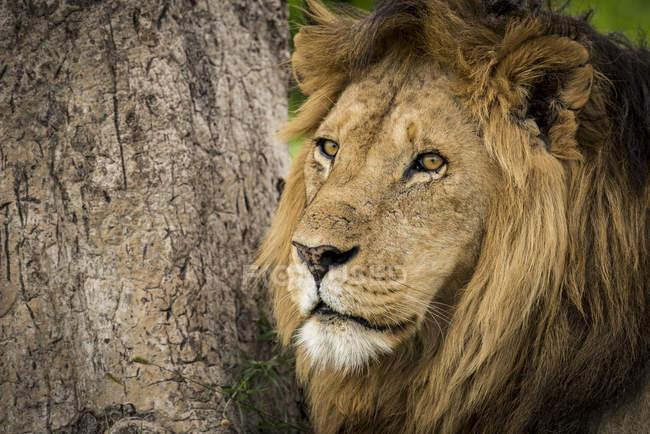Close-up of male lion ( panthera leo ) by tree trunk; Tanzania — Stock Photo