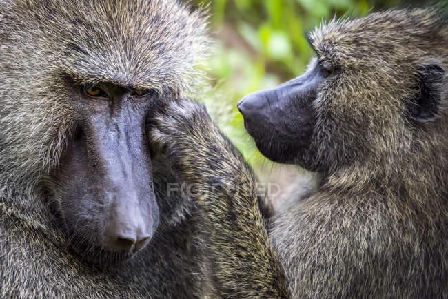 Primo piano della toelettatura femminile del babbuino maschio d'oliva (babbuino Anubis); Tanzania — Foto stock