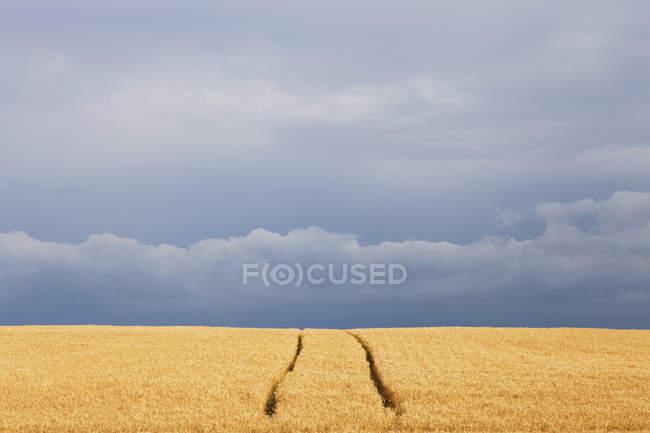 Campo de trilhas de trigo e veículos agrícolas, com nuvens de chuva no horizonte; Georgetown, Ontário, Canadá — Fotografia de Stock