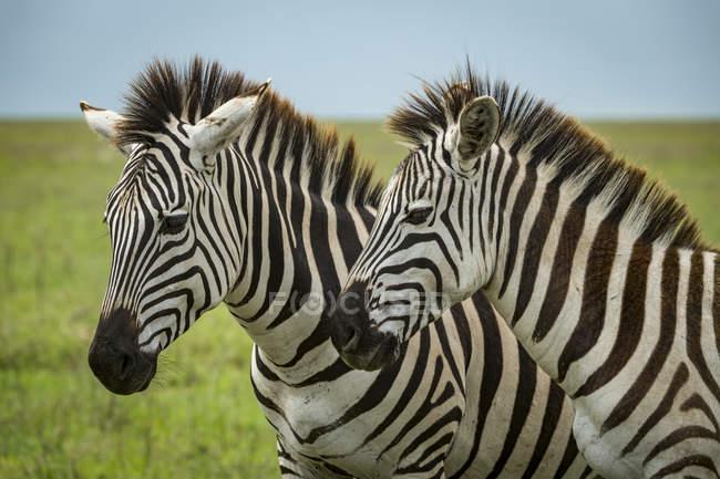 Primer plano de la cebra de los dos llanos (quagga de Equus) standing side-by-side, cráter del Ngorongoro; Tanzania - foto de stock