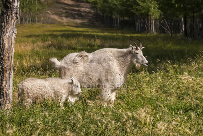 Гірський козел (oreamnos атепсапіз може) з дитиною, полон; Територія Юкон, Канада — стокове фото