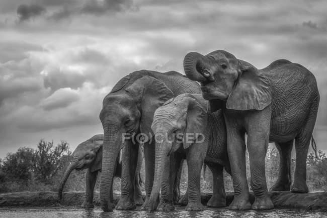 Африканские слоны Буша (Loxodonta africana), стоящие у воды; Эфиопия — стоковое фото