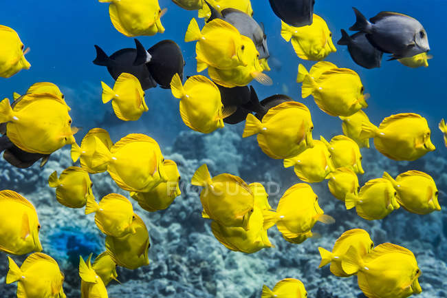 Yellow Tang (Zebrasoma flavescens) with a few Brown Surgeonfish (Acanthurus nigrofuscus) and Ringtail Surgeonfish (Acanthurus blochii)  schooling off the Kona coast; Island of Hawaii, Hawaii, United States of America — Stock Photo