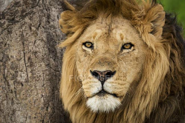 Close-up of male lion ( panthera Leo ) alongside scratched tree, Serengeti National Park; Tanzania — Stock Photo