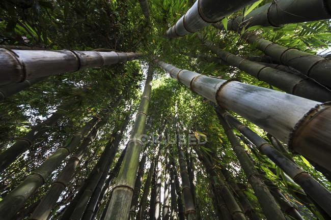 Бамбук, Senetoui плантации, Bolaven плато; Champasak, Лаос — стоковое фото