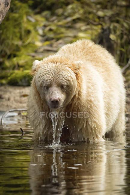 Ein Kermode Bär (Ursus Americanus Kermodei), auch bekannt als ein Spirit Bear, stehend im Wasser mit Wasser tropft aus dem Fell — Stockfoto