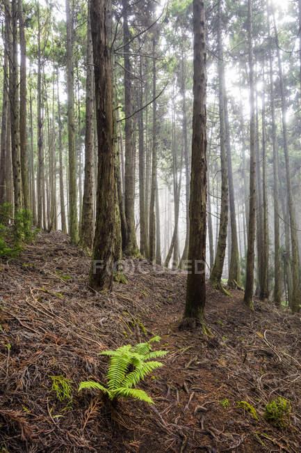 Alti alberi di Redwood a 6.000 piedi di altitudine, Poli Poli State Park; Kula, Maui, Hawaii, Stati Uniti d'America — Foto stock