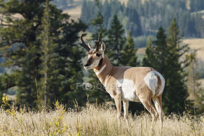 Pé de Antilocapra (Antilocapra americana) na grama, Parque Nacional de Yellowstone; Wyoming, Estados Unidos da América — Fotografia de Stock