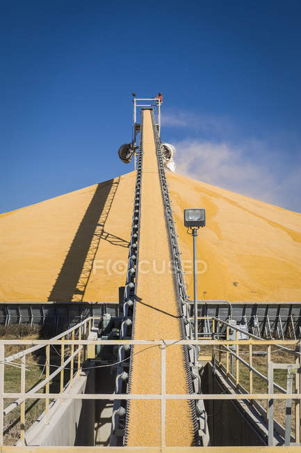 Harvested corn on conveyor belt to stockpile at grain