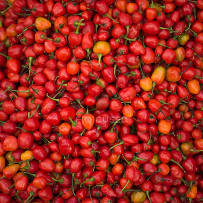 Обилие свежий красный перец Чили перец; Дарджилинг, Западная Бенгалия, Индия — стоковое фото